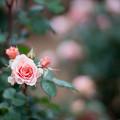 Photos: 100生田緑地ばら苑【春バラ:KIZUNA】1