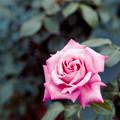 Photos: 121生田緑地ばら苑【春バラ:ステファニー・ドゥ・モナコ】銀塩NLP