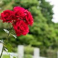 Photos: 122生田緑地ばら苑【春バラ:シンパシー】