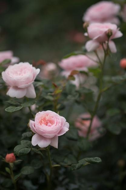 123生田緑地ばら苑【春バラ:クィーン・オブ・スウェーデン】