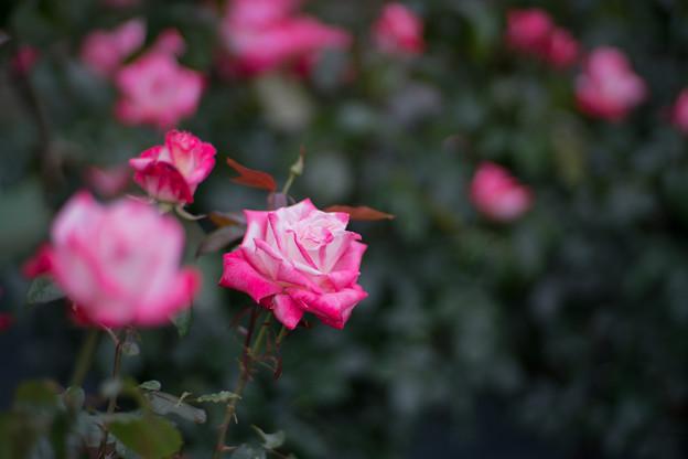 Photos: 116生田緑地ばら苑【春バラ:アルテス'75】