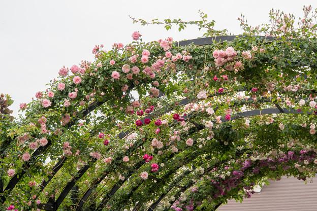 Photos: 09YEG【ローズトンネル】9