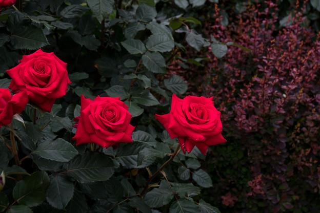 38YEG【春バラ:ハッピー・ルビー・ウェディング】1