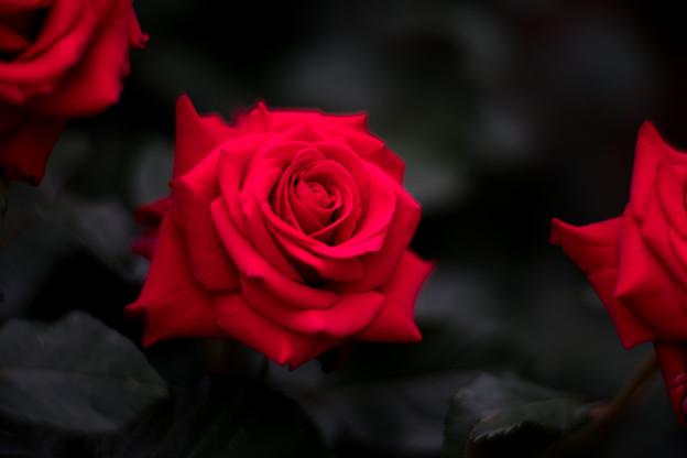 39YEG【春バラ:ハッピー・ルビー・ウェディング】2