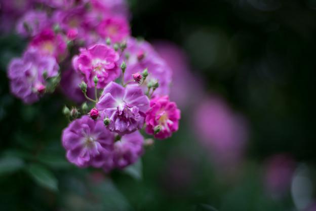 41YEG【春バラ:パープル・スカイライナー】2