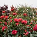 42YEG【春バラ:ホット・ココア】1