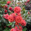 43YEG【春バラ:ホット・ココア】2