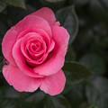 45YEG【春バラ:ティクレッド・ピンク】2
