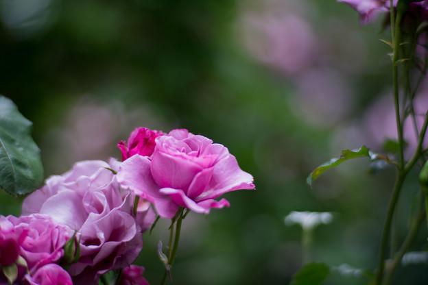 47YEG【春バラ:シンギン・ザ・ブルース】2