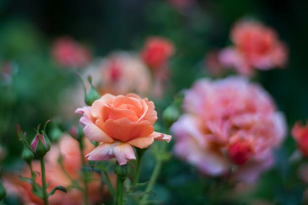 48YEG【春バラ:イージー・ダス・イット】1