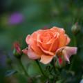 49YEG【春バラ:イージー・ダス・イット】2