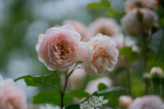51YEG【春バラ:アンブリッジ・ローズ】2