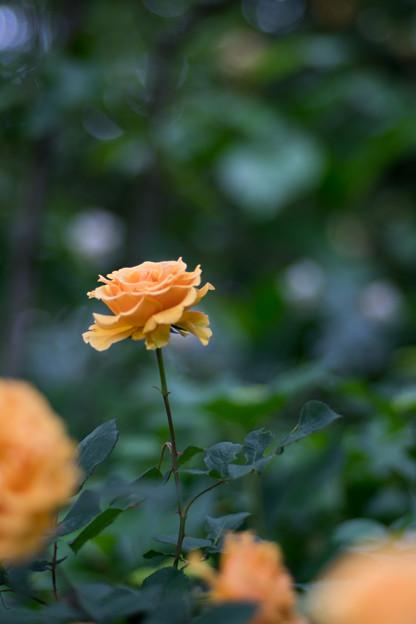 52YEG【春バラ:インドラ】1