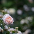 50YEG【春バラ:アンブリッジ・ローズ】1