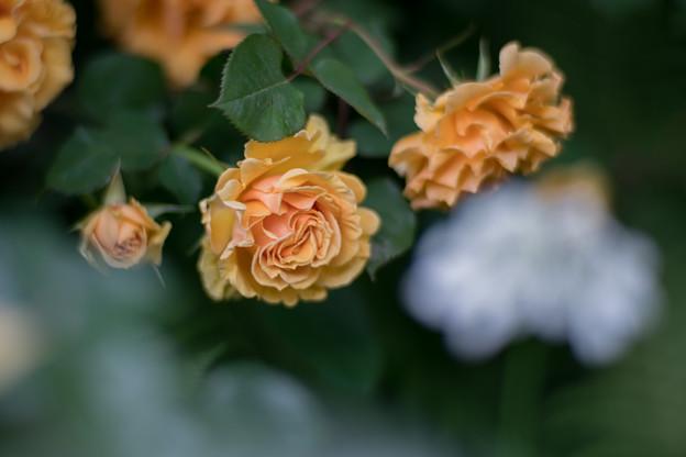 53YEG【春バラ:インドラ】2