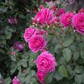 54YEG【春バラ:ワイズ・ポーシャ】