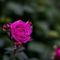 56YEG【春バラ:ヴァンテロ】