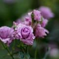 57YEG【春バラ:若紫】
