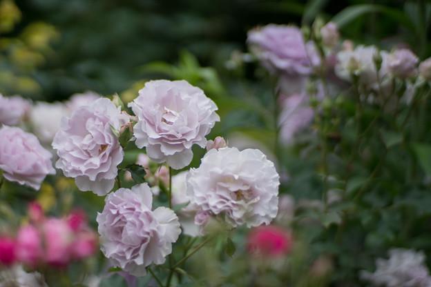 59YEG【春バラ:ラブリー・ブルー】