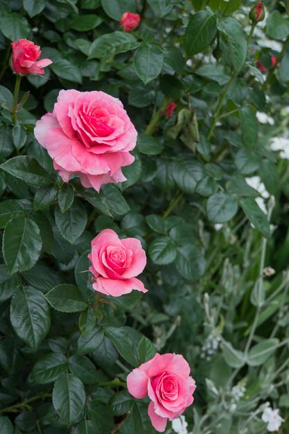 44YEG【春バラ:ティクレッド・ピンク】1