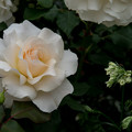 60YEG【春バラ:フレンチ・レース】