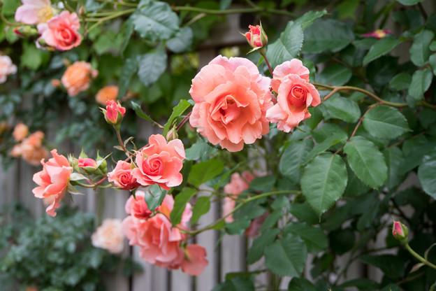 55YEG【春バラ:サンセット・グロウ】