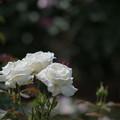 67谷津バラ園【春バラ:ヨハネパウロ2世】