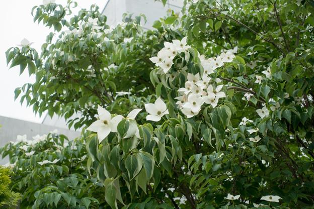 09緑道沿いを散歩【街路沿いに咲くヤマボウシ】