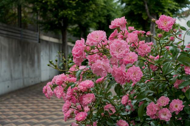 01緑道沿いを散歩【緑道沿いに咲くバラ】