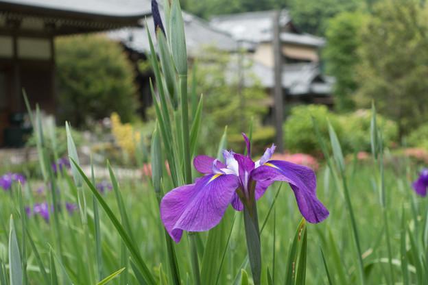 08緑道沿いを散歩【正覚寺のハナショウブ】