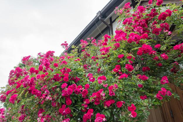 10緑道沿いを散歩【街路沿いに咲くバラ】1