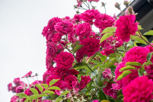 11緑道沿いを散歩【街路沿いに咲くバラ】2