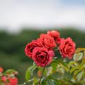 34生田緑地ばら苑【春バラ:ホット・チョコレート】1