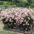 46生田緑地ばら苑【春バラ:ボニカ'82】