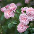 32生田緑地ばら苑【春バラ:桜衣】2