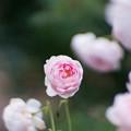 48生田緑地ばら苑【春バラ:セプタード・アイル】