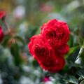 53生田緑地ばら苑【春バラ:スカーレット・ボニカ】