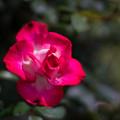 56生田緑地ばら苑【春バラ:つる・聖火】