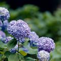 26薬師池公園【紫陽花(青系)】3銀塩NLP