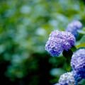 27薬師池公園【紫陽花(青系)】4銀塩NLP