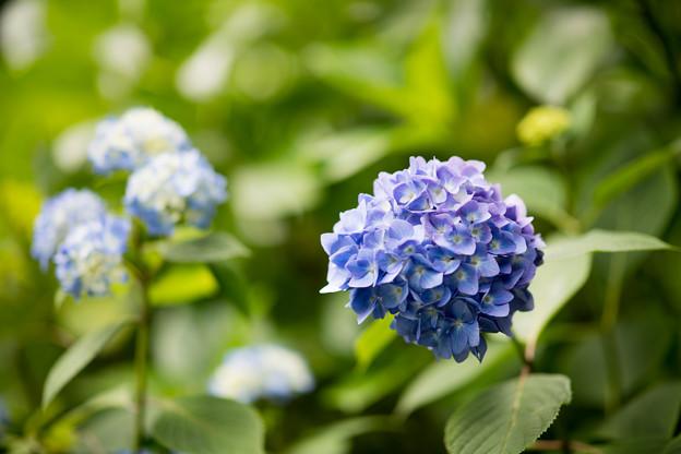 28薬師池公園【紫陽花(青系)】5