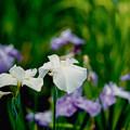 17薬師池公園【花菖蒲:朗月】銀塩NLP