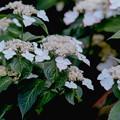 32薬師池公園【紫陽花:七段花】4銀塩NLP