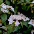33薬師池公園【紫陽花:七段花】5銀塩NLP