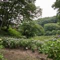 23薬師池公園【アジサイ園の眺め】