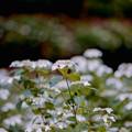 31薬師池公園【紫陽花:七段花】3銀塩NLP