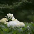 34薬師池公園【紫陽花(白系)】