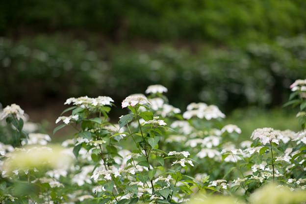30薬師池公園【紫陽花:七段花】2