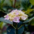 37薬師池公園【紫陽花(赤系)】銀塩NLP