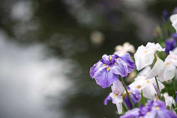 27小田原FG【花菖蒲(紫縞系)】2